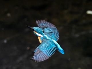 Fototapeta common kingfisher in flight over Izumi River 11