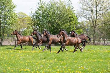 Fotobehang Paardrijden A herd of young stallions go to pasture for the first time on a sunny spring day. Blue sky. Galloping dressage and jumping horse stallions in a meadow. Breeding horses