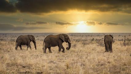 Canvas Prints Elephant Afrikaanse Olifant (Loxodonta africana)
