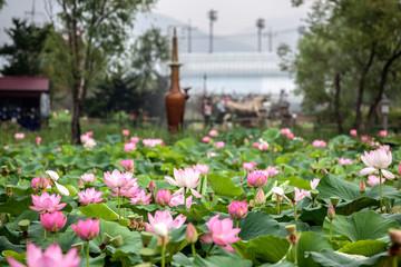 Foto auf Gartenposter Wasserlilien Lotus Water Lilies Blooming At Semiwon Park