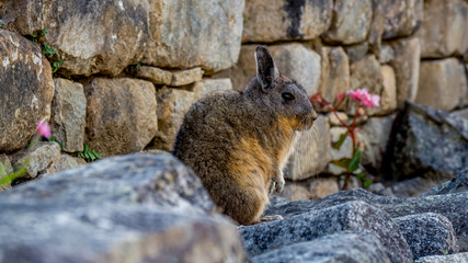 cute viscacha in front of a stone wall with pink flowers