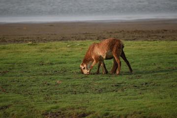 Domestic sheep grazing or eating green grass in meadow or pasture at Himayat Sagar Lake, Hyderabad, India. Fototapete