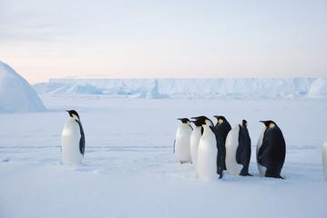 Fototapeta emperor penguin in antarctica obraz