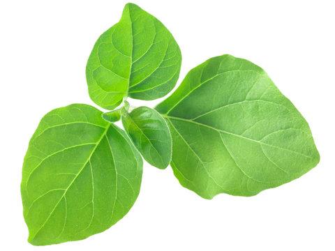 Ashwagandha leaves w. somnifera, paths