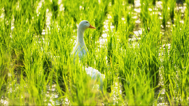white duck at water rice field with bokeh