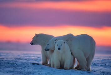 Printed roller blinds Polar bear Polar bears in Canadian Arctic