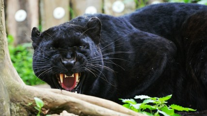 Close-up Of Black Panther Growling