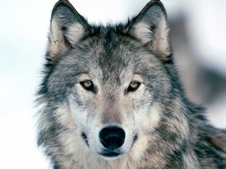 Close-up Portrait Of A Wolf