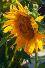słonecznik w letnim słońcu