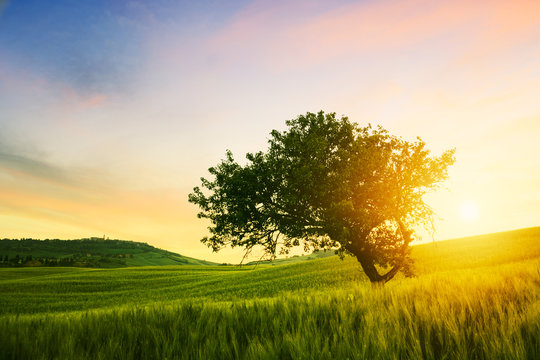 Alone tree on spring meadow at sunrise with  sun