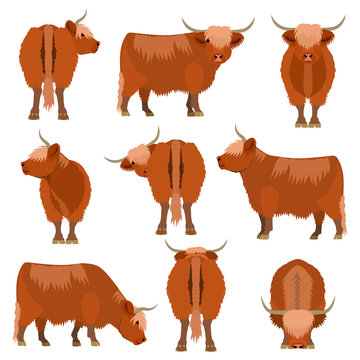 Highland cattle various pose set