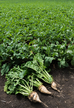 High Angle View Of Sugar Beets On Field