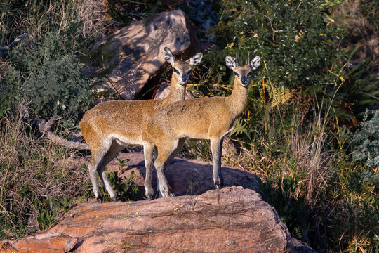 A klipspringer ram and ewe standing on a rock in the late afternoon sun  in Welgevonden private game reserve, South Africa