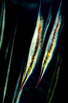 school of hinged shrimpfish fish