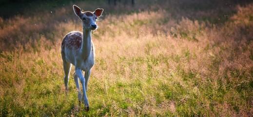 deer in the grass Fotomurales