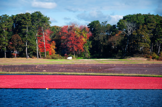 Autumn Cranberry harvest on Cape Cod Massachusetts