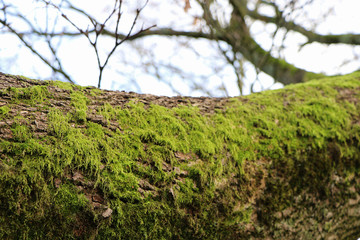 Closeup of tree trunk with green moss as natural display, forest background