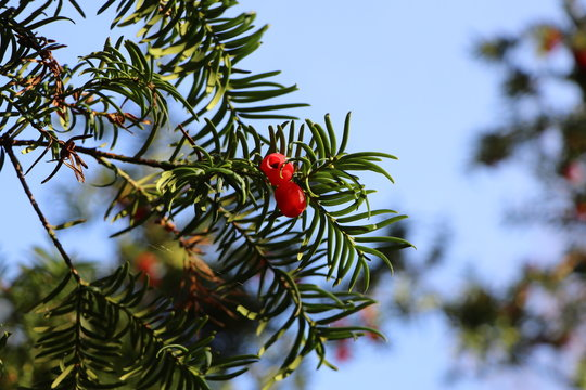 Branch of a yew tree with red berries, closeup with copy space on the right