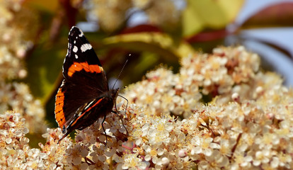 Black butterfly with orange bands and white spots on white blossoms, red admiral (Vanessa Atalanta), nature photography, shallow depth of field