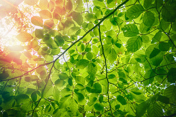 Obraz Fresh green beech leaves in the springtime - fototapety do salonu