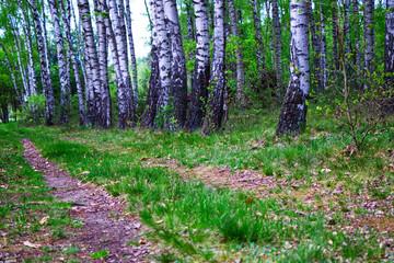 Poster de jardin Vert droga leśna z brzozami w tle.