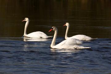 Fototapeta  Mute swan on the lake obraz