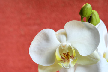 Aluminium Prints Magnolia Closeup of beautiful white orchid on red background. A white orchid of the Phalaenopsis genus.