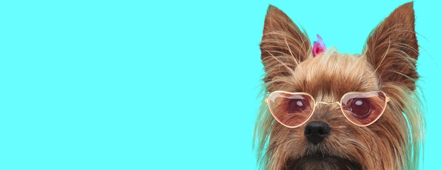 Yorkshire Terrier dog wearing heart glasses and hairband
