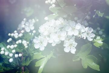 Cherry Blossom And Campanella