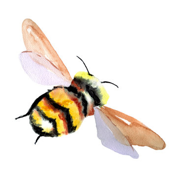 Large fluffy black and yellow bumblebee. Watercolor hand drawn illustration