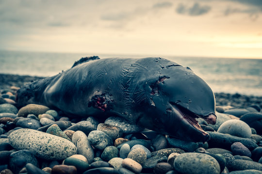 Dead dolphin cub lies on the seashore. Coastline on the Black Sea. A storm threw a dead dolphin onto land. The animals began to eat the carcass.