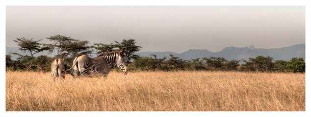 Wall Murals Zebra Zebras On Field Against Clear Sky