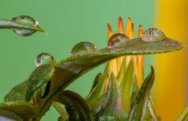 Aluminium Prints Chameleon krople wody na listkach kwiatów bardzo kolorowe na zielonym tle,makro