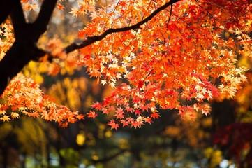 Fototapeta Close-up Of Maple Tree During Autumn obraz
