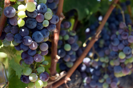 Zinfandel grapes in veraison, Northern California.
