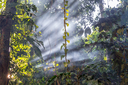Sunbeam Passing Through Trees And Plants In Amazon Rainforest