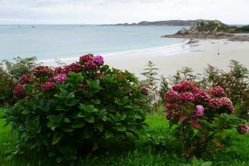 pink hydrangea growing by the sea on the coast of Brittany, France