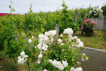 colorful rose bushes growing along the vine rows for protection in the vineyard of the Loire valley, France