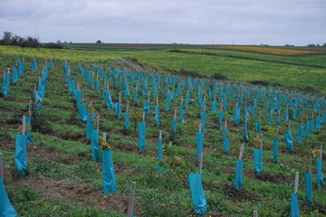 blue plastic protection on rows of young vines in a field in the Loire valley, France
