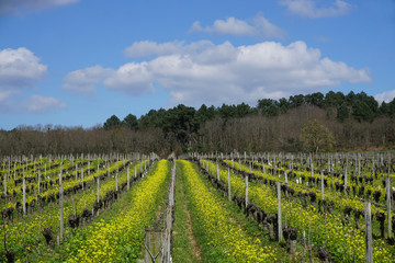 yellow wild flowers growing in between rows of vines in vineyard in Loire valley, France on a gorgeous spring day