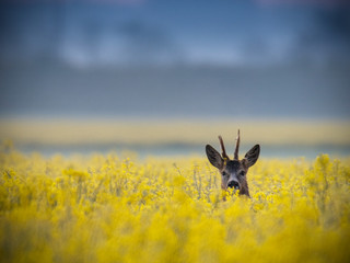 Roe deer buck standing on a flowery rape field with yellow flowers