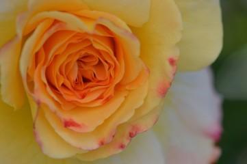 Spoed Fotobehang Macro Close-up Of Yellow Rose Blooming Outdoors
