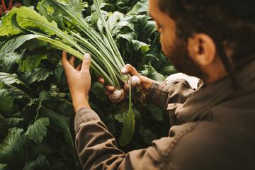 Male gardener holding freshly harvested turnips from garden