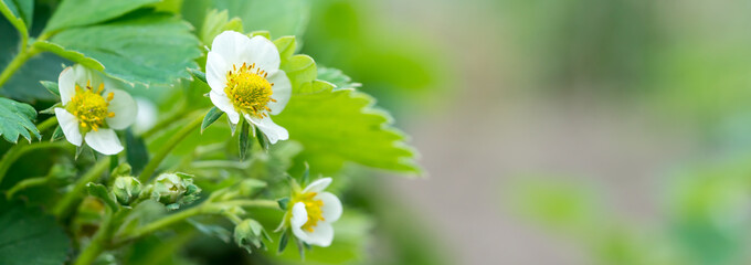Foto op Canvas Bloemen Beautiful soft background with a strawberry flower