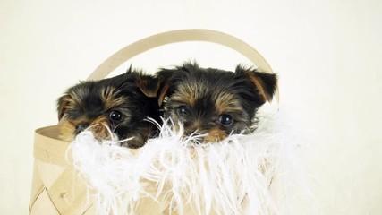 Fototapete - two puppies in a wicker basket