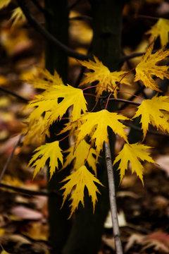 Acer Saccharinum 'Laciniatum Wieri' silver maple leaf autumn