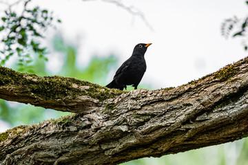Blackbird on a tree in spring