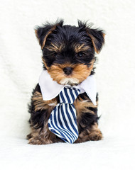 Poster de jardin Singapoure puppy in a tie looks forward