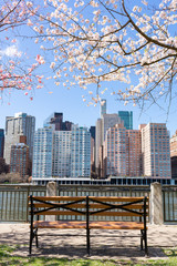 Empty Bench under Cherry Blossom Trees during Spring along the East River at Roosevelt Island with a New York City Skyline View