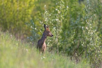 Obraz młody jeleń - fototapety do salonu